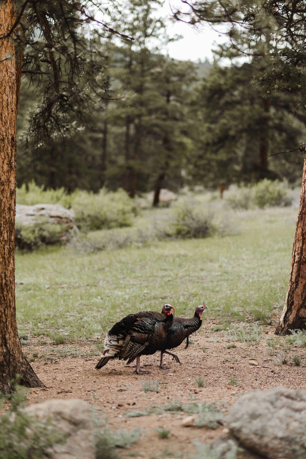 Wild Turkeys in Estes Park, Colorado