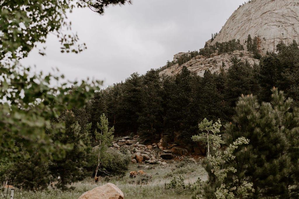 Elk in Field right outside of Della Terra in Estes Park Colorado