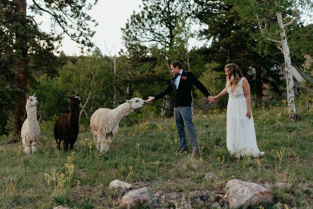 new colorado elopement location with alpacas