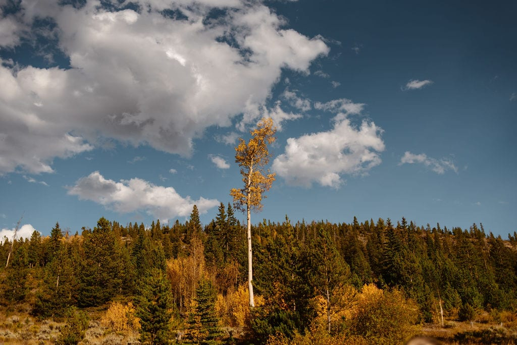 Single Aspen Tree with Gorgeous Yellow Color in Colorado