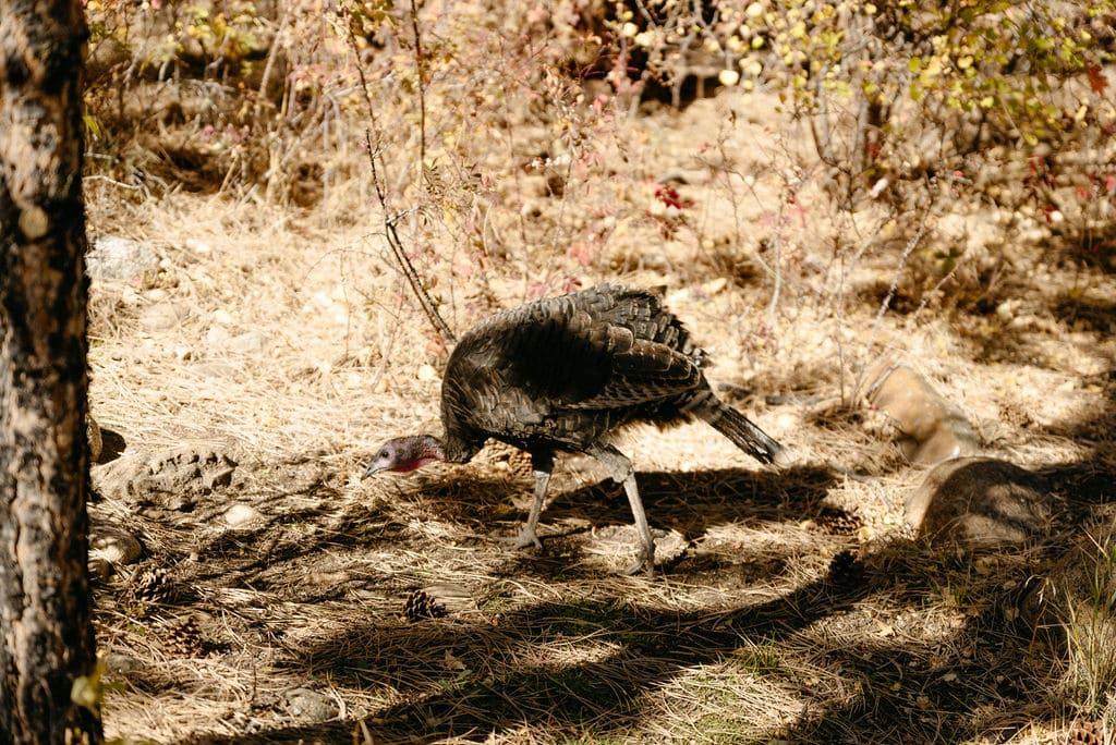 Wild turkey in estes park
